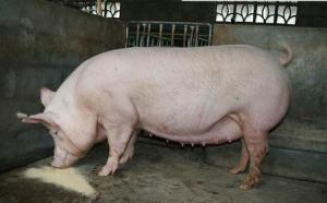如何快速治疗断奶母猪