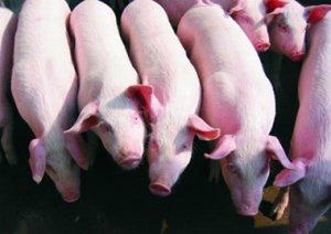 现代化规模猪场后备猪