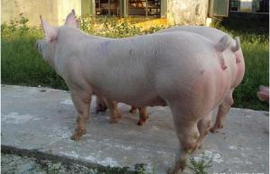 母猪发情高潮的鉴定与