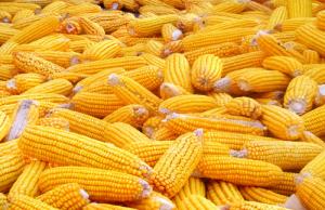 10月份以来黑龙江省玉米南运约500万吨