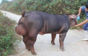 公猪精液的稀释流程做到才能有好的生产成