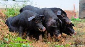 国外猪VS国内猪,到底哪种猪更好?