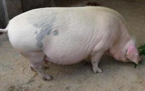 冬季母猪产前低温不食