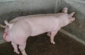 公猪配种过度症的中草药疗法