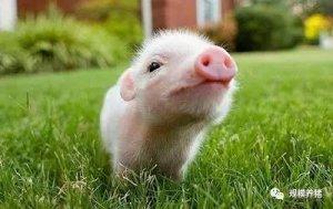 你了解仔猪么?仔猪健康曲线取决于什么?