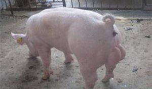养猪户如何提高母猪的产仔和成活率