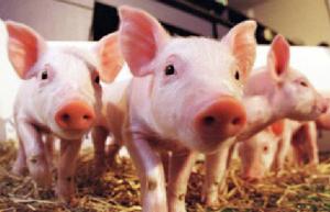 如何进行乳猪早期诱食