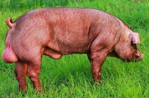 悲哀!高科技时代养猪场再也没有了公猪的用武之地