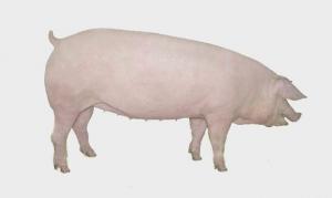 肉质好效益高,选好猪品种是关键!