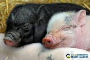 热应激2小时,就能影响生长猪采食量和肠道完整性