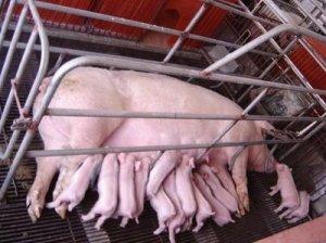 现代化养猪场的限位栏,真的现代化吗?多的是你不知道的隐患!