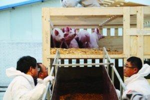 烟台引进千头曾祖代原种猪改良生猪养殖结构