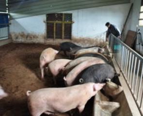 养猪技术/猪服药后有十大忌口饲料