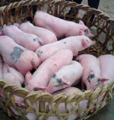 养猪场保育舍这样管理后,成活率将大大增加