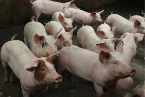 天冷了,猪群生长速度