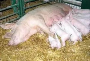 为什么你的母猪产仔数