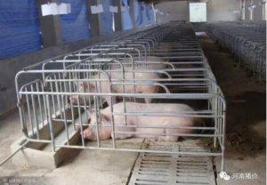 母猪发病前一直再传递