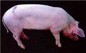 涨知识!规模养猪场猪蓝耳病的诊断与治疗案例