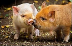冬季猪群呼吸道疾病有