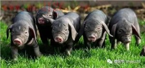 如何防治仔猪黄痢病