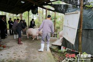 养猪场拒不履行合同 法院强制执行交付生猪千余头