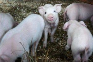 不同卫生条件如何影响猪对氨基酸的需要量