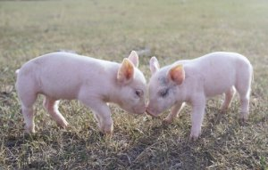 猪的行为学特点,你了解吗?