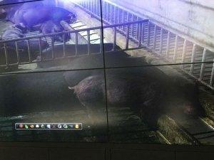 基因传承2300年 雅南猪珍稀堪比熊猫