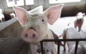 春节临近,市民结伴下乡订年猪