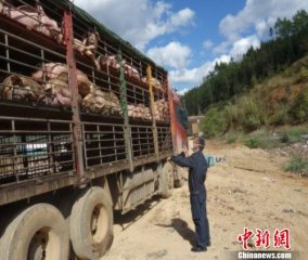 云南临沧多部门联合销毁280头非法入境生猪