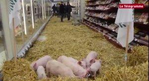 法媒:中国2016年进口300万吨法国猪肉 拯救法养猪业