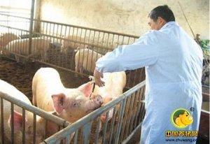 为什么猪场免疫老做不好?养猪人