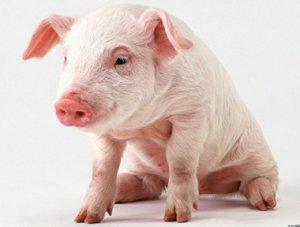 中国的养猪行业是病态