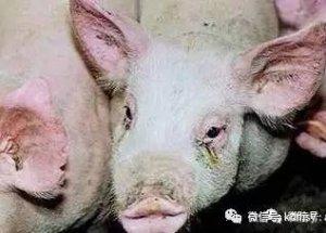 母猪发病前传递的信号