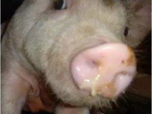 冬季猪场高热流感频发