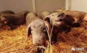 网易猪场内部曝光:6个人养2万头的猪场原