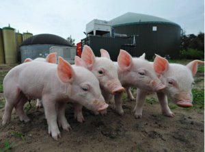 苗猪创天价 生猪价格高企吸引江苏养殖户