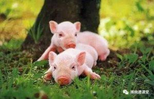春季猪场饲养管理只需做好五个字,让您轻松养猪挣大钱!