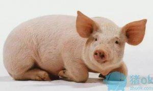 猪一片一片的掉毛,都