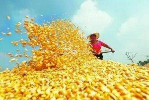 玉米收储制度改革一年