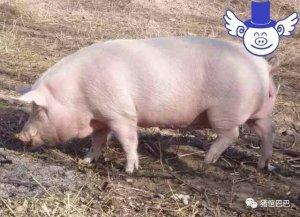 猪总是掉毛是怎么回事?原来是缺了这种微量元素!