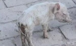 为啥加温了还是不能对抗冬季猪冷应激?