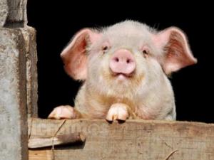 猪价、政策很重要,但最重要的还是养好猪!!!