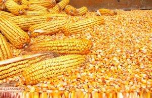 玉米底部逐步显现