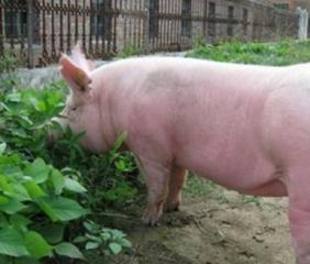 要想提高母猪产仔数需从哪些方面入手?