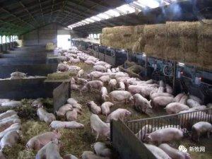 对夫妻能养2万头猪?看欧洲这个家庭猪场如何做到