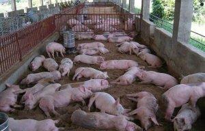 猪粪难处理?还有两种不用投资环保还能养猪模式可选择