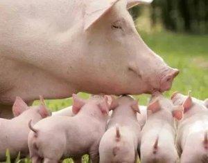 为什么你的仔猪不如别