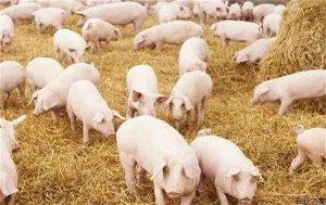 春季,猪呼吸道疾病综