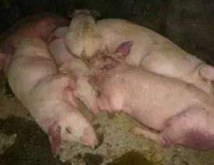 猪瘟疫苗免疫没作用?抗体水平低、猪瘟疫情高发?